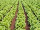 green_leaf_veg_1