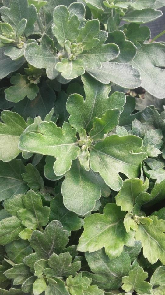 chrysanthemum_19