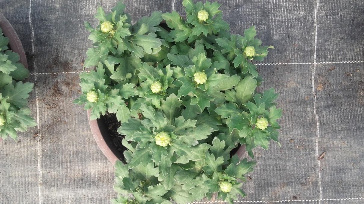 chrysanthemum_20