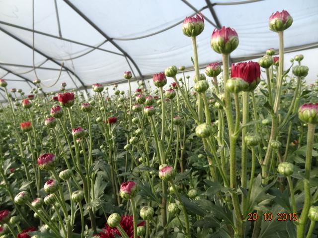 chrysanthemum_24