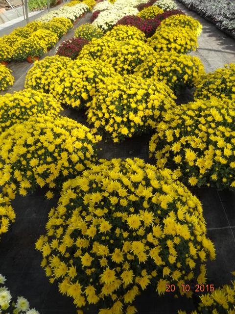 chrysanthemum_25
