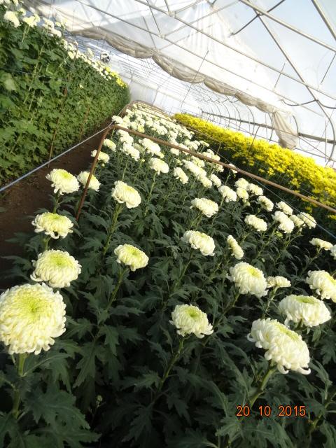chrysanthemum_26