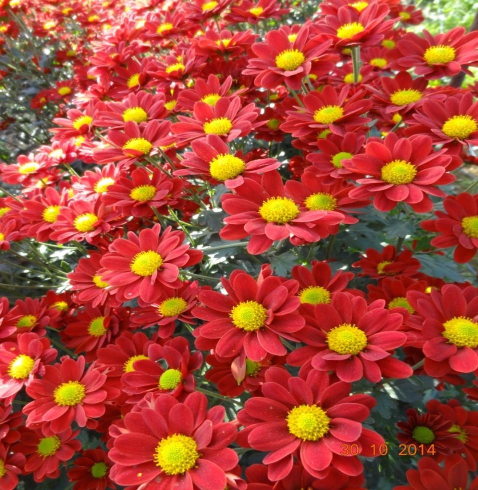 chrysanthemum_28