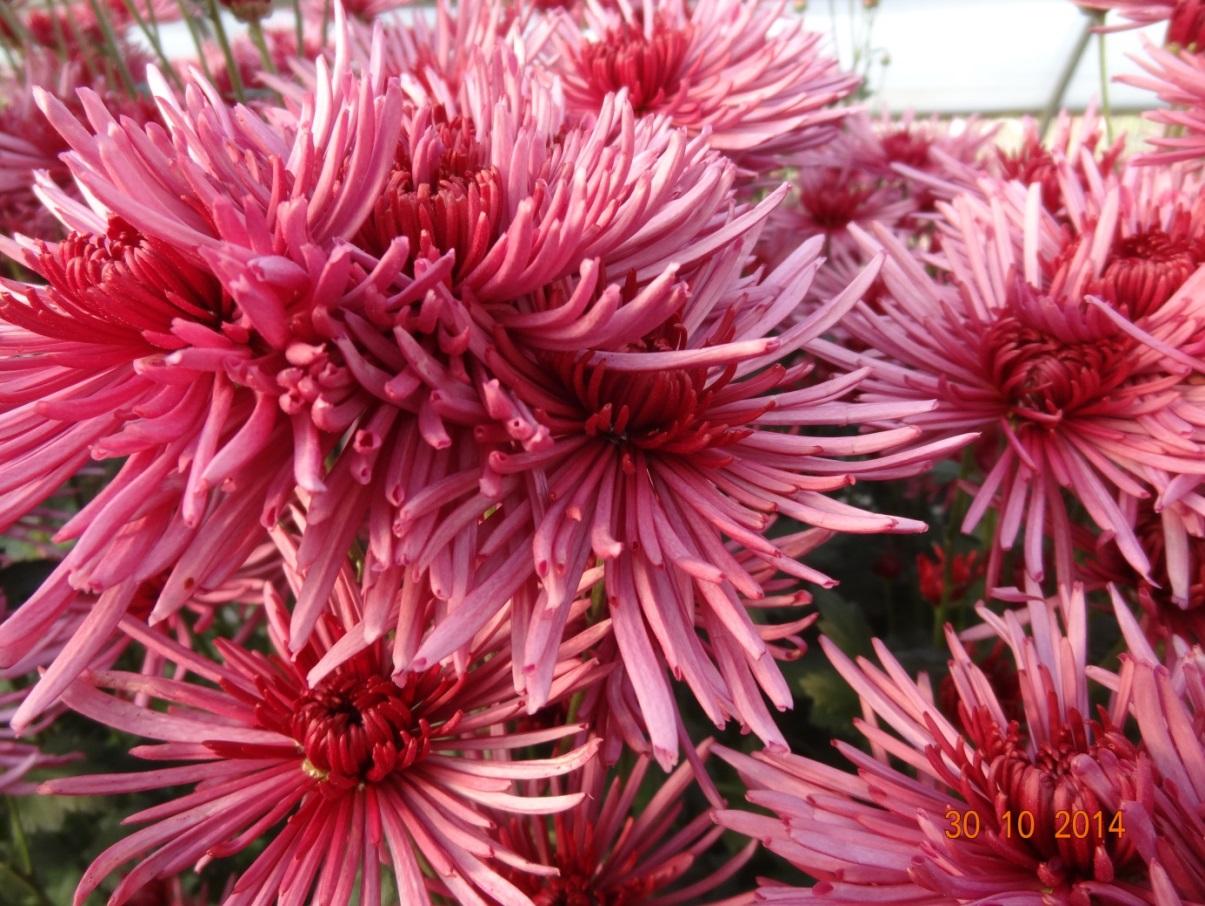 chrysanthemum_29