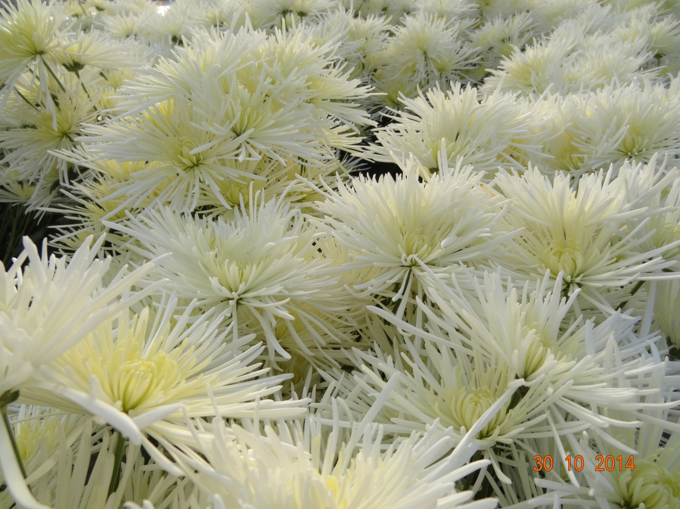 chrysanthemum_30