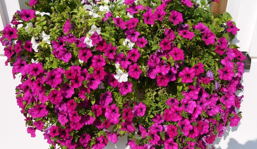 balkonsko_cvetje_1