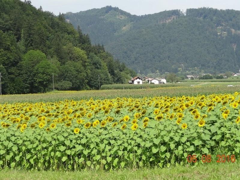 sunflower_15