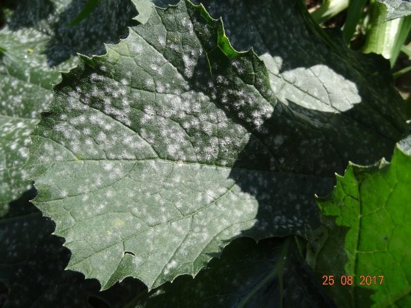 zucchini_2