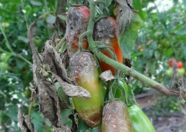 paradajz5