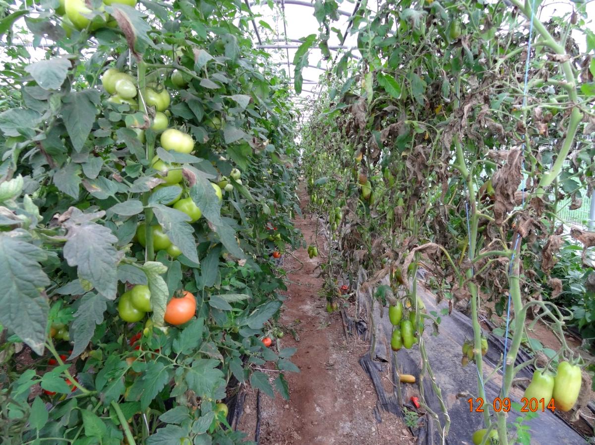paradajz6