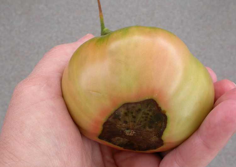 paradajz9