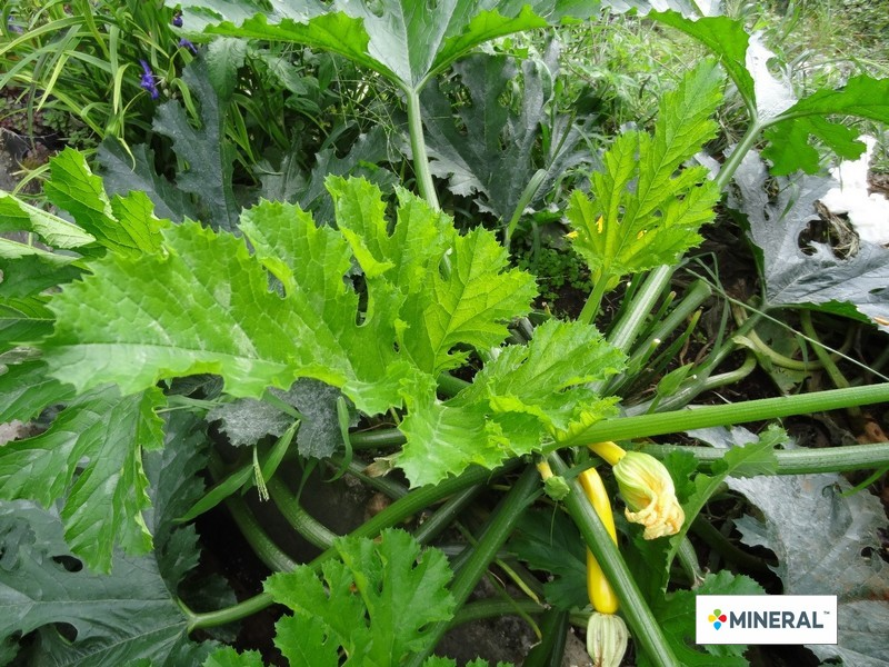zucchini_9